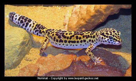 farbvarianten farbzuchten des leopardgecko
